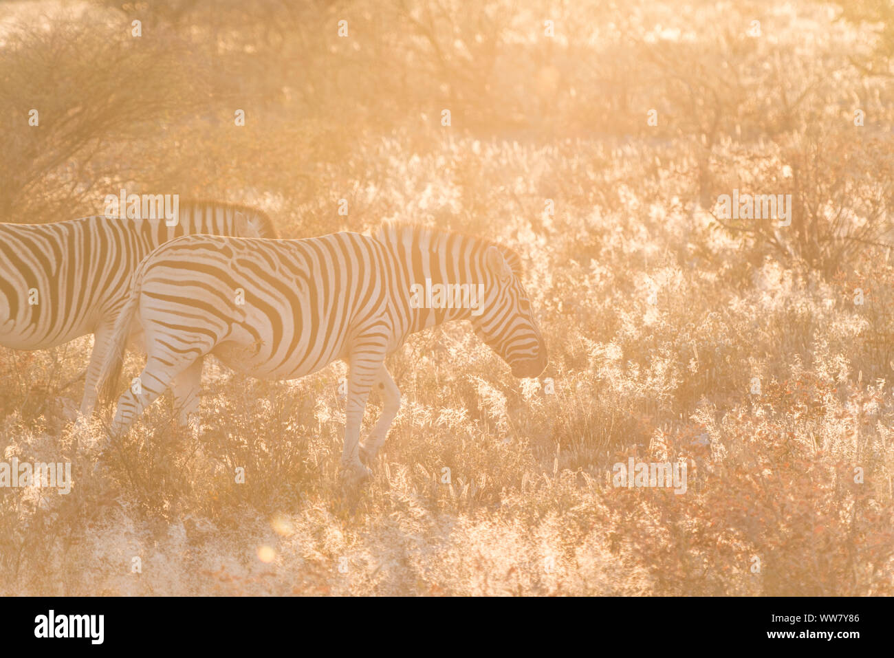 Two zebras in the early sunlight in the savanna in Namibia, Africa Stock Photo