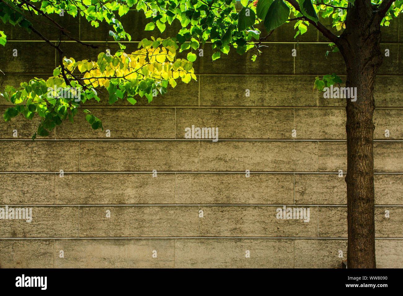 Lime tree at a wall Stock Photo