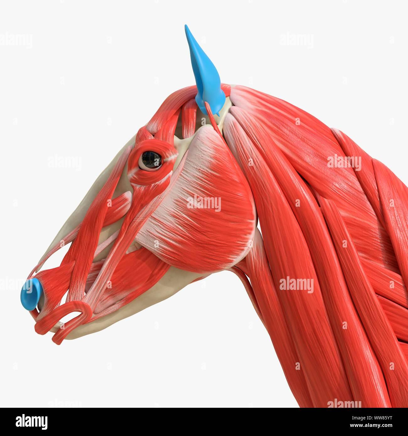 Horse Head Muscles Illustration Stock Photo Alamy