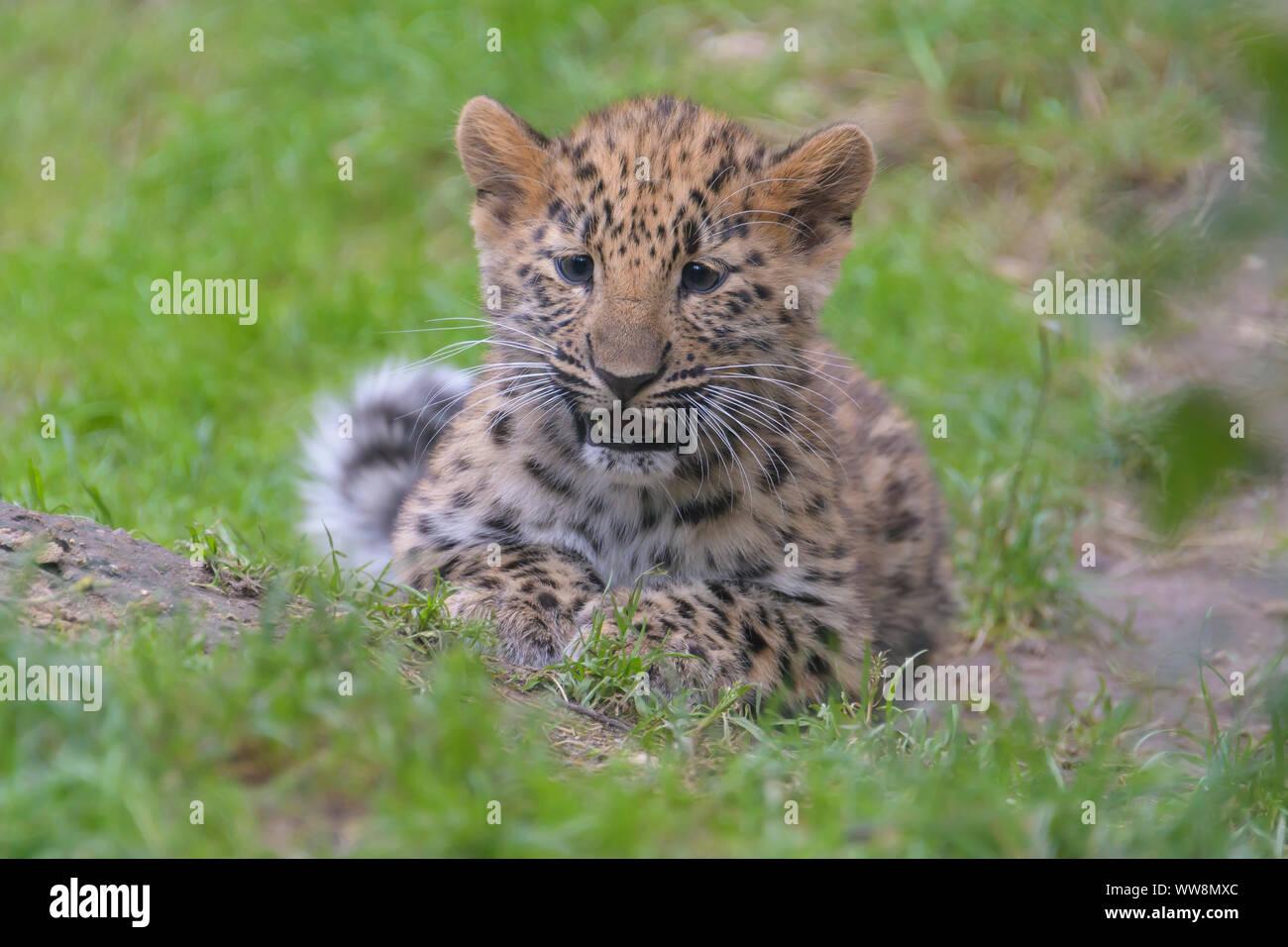 Amur leopard, Panthera pardus orientalis, cub Stock Photo