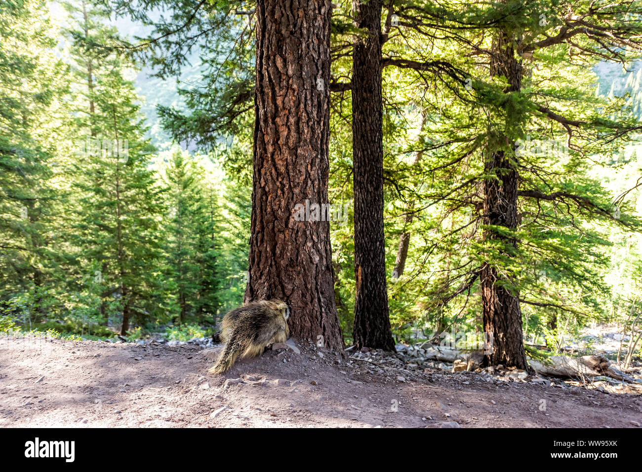 Maroon Bells crater lake trail in Aspen, Colorado with forest footpath and porcupine wildlife wild animal Stock Photo