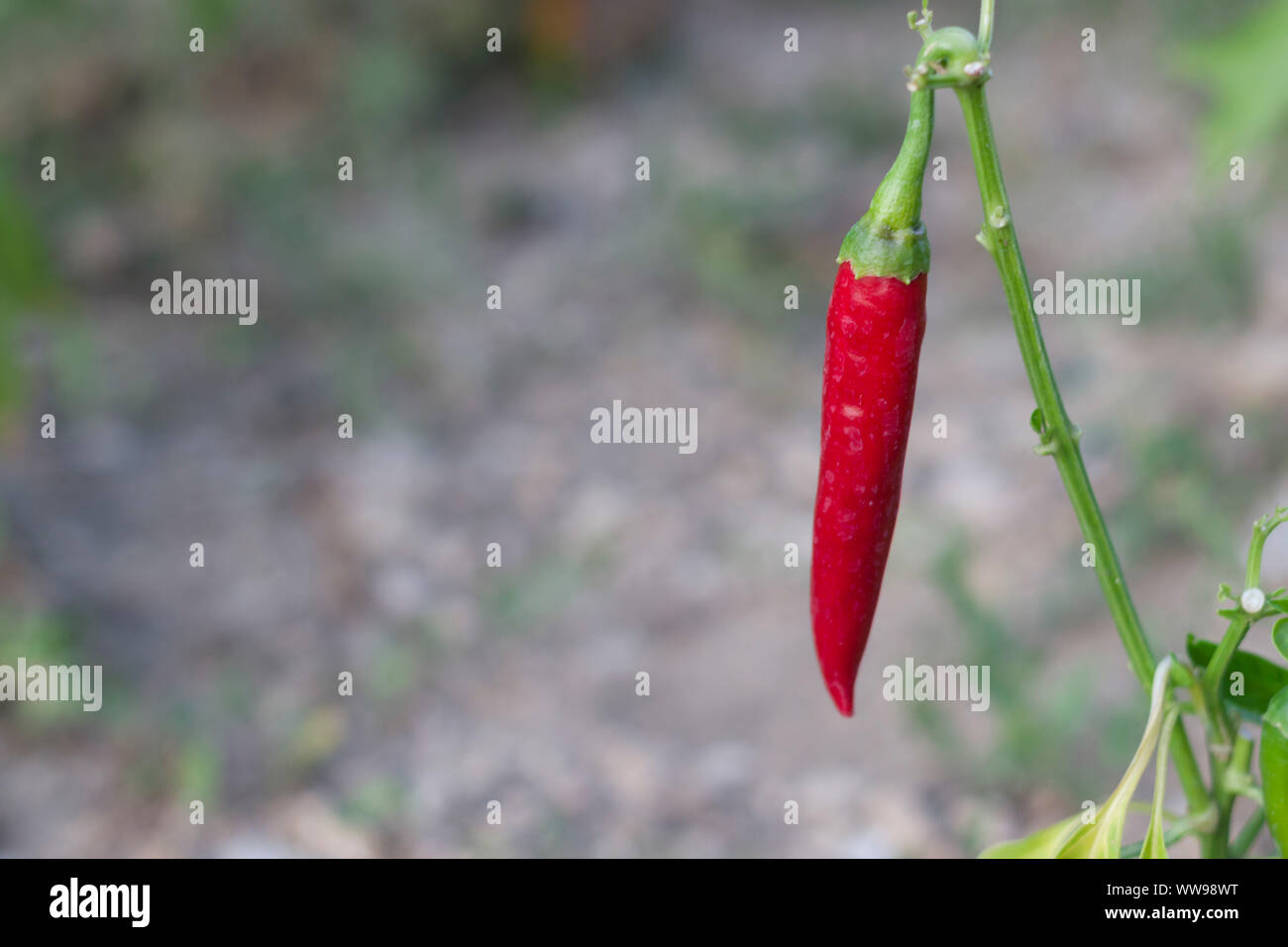 hot red pepper hangs on a stem Stock Photo