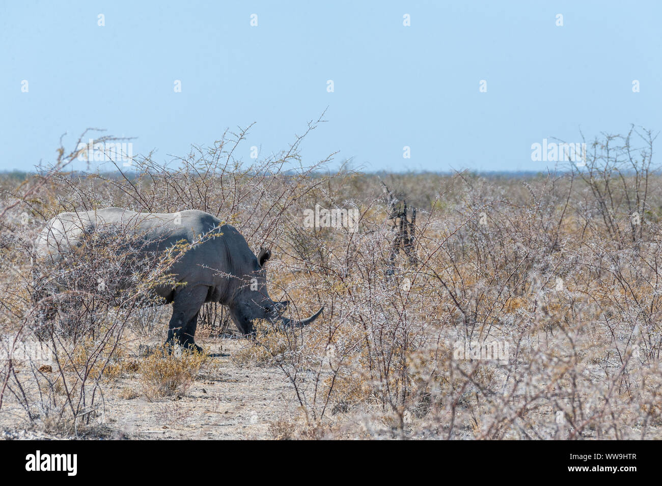One out of a group of four white Rhinoceros -Ceratotherium simum- standing on a barren plain in Etosha National Park, Namibia. - Stock Photo