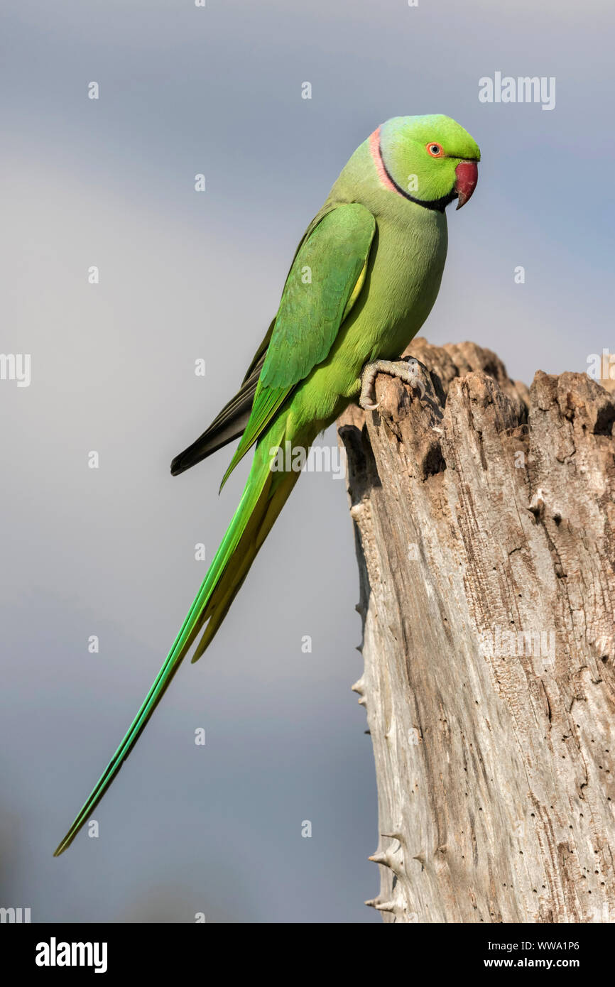 Ring necked Parakeet, Psittacula krameri, a single adult bird, october, London Stock Photo