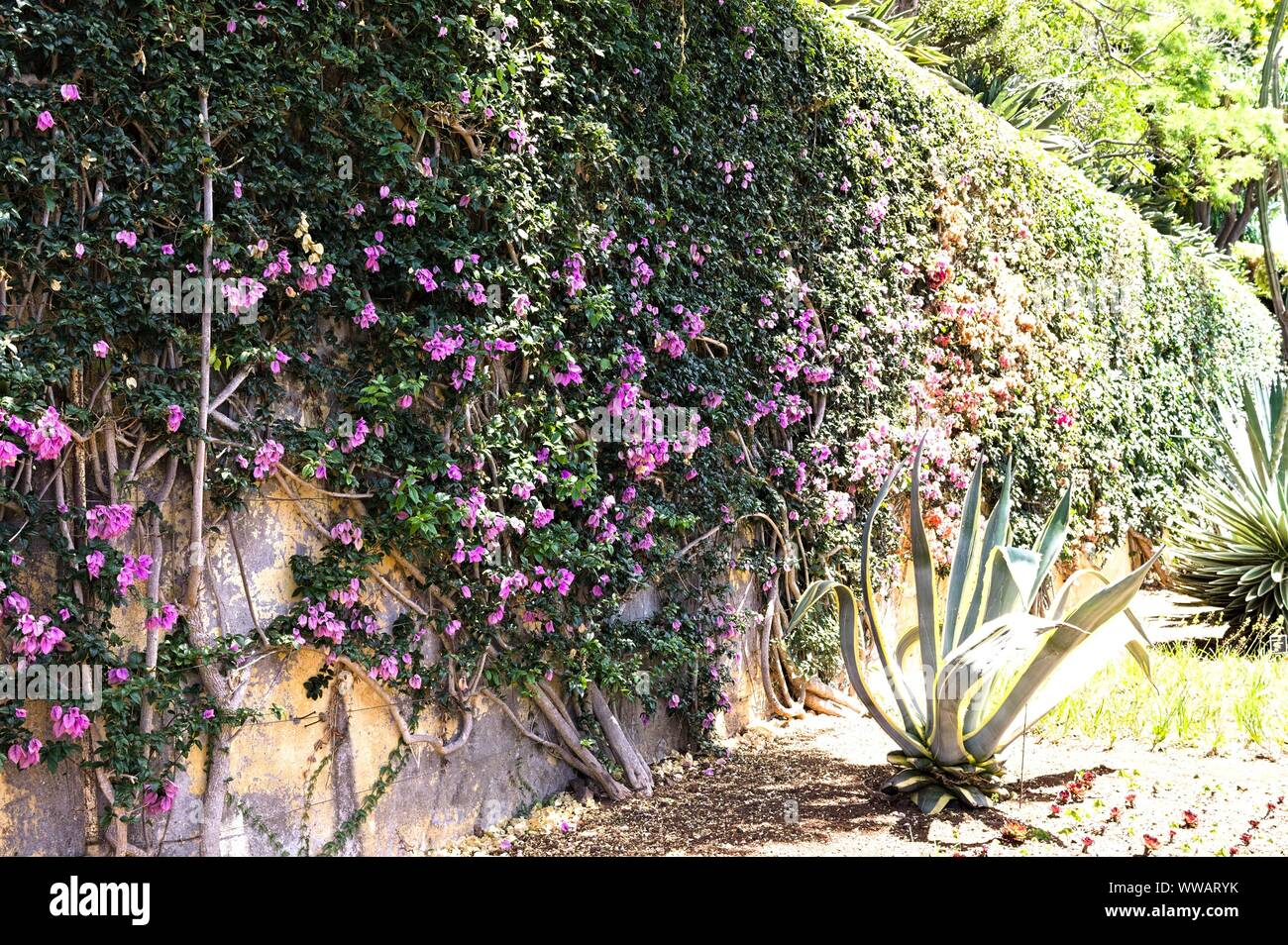 Ivy With Colored Flowers On The Wall Of The Botanical Garden Of Funchal Madeira Portugal Stock Photo Alamy