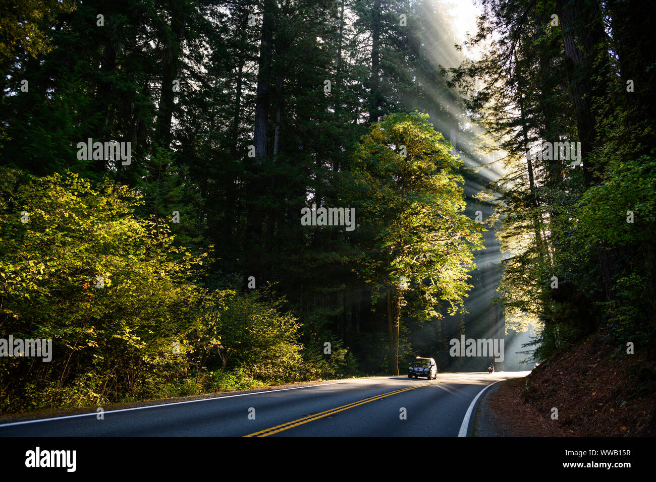A road through groves of giant Sequoia and redwood trees with sun beams coming through the trees along the California Coast at the Redwoods National a Stock Photo