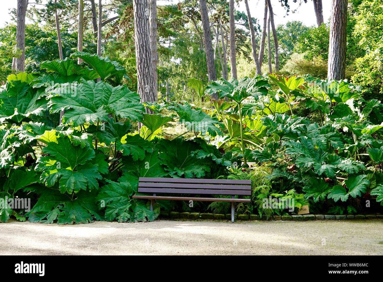 Empty park bench. Lush Gunnera manicata, known as Brazilian giant-rhubarb, or dinosaur food. A species of flowering plant. Parc Floral, Paris, France. Stock Photo