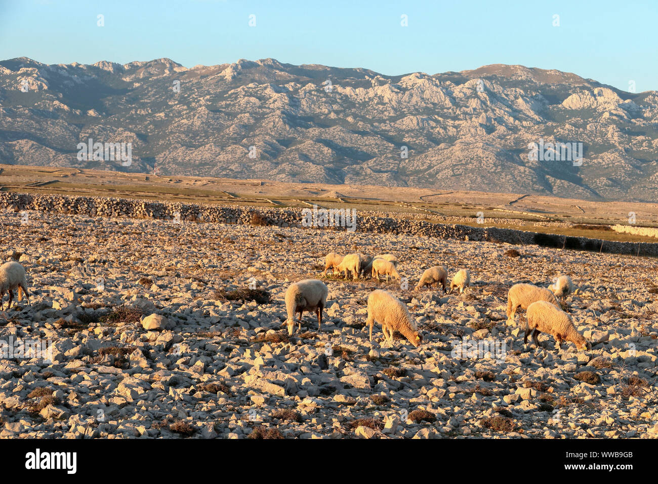 the sheep graze the grass in the gravelly terrain Stock Photo