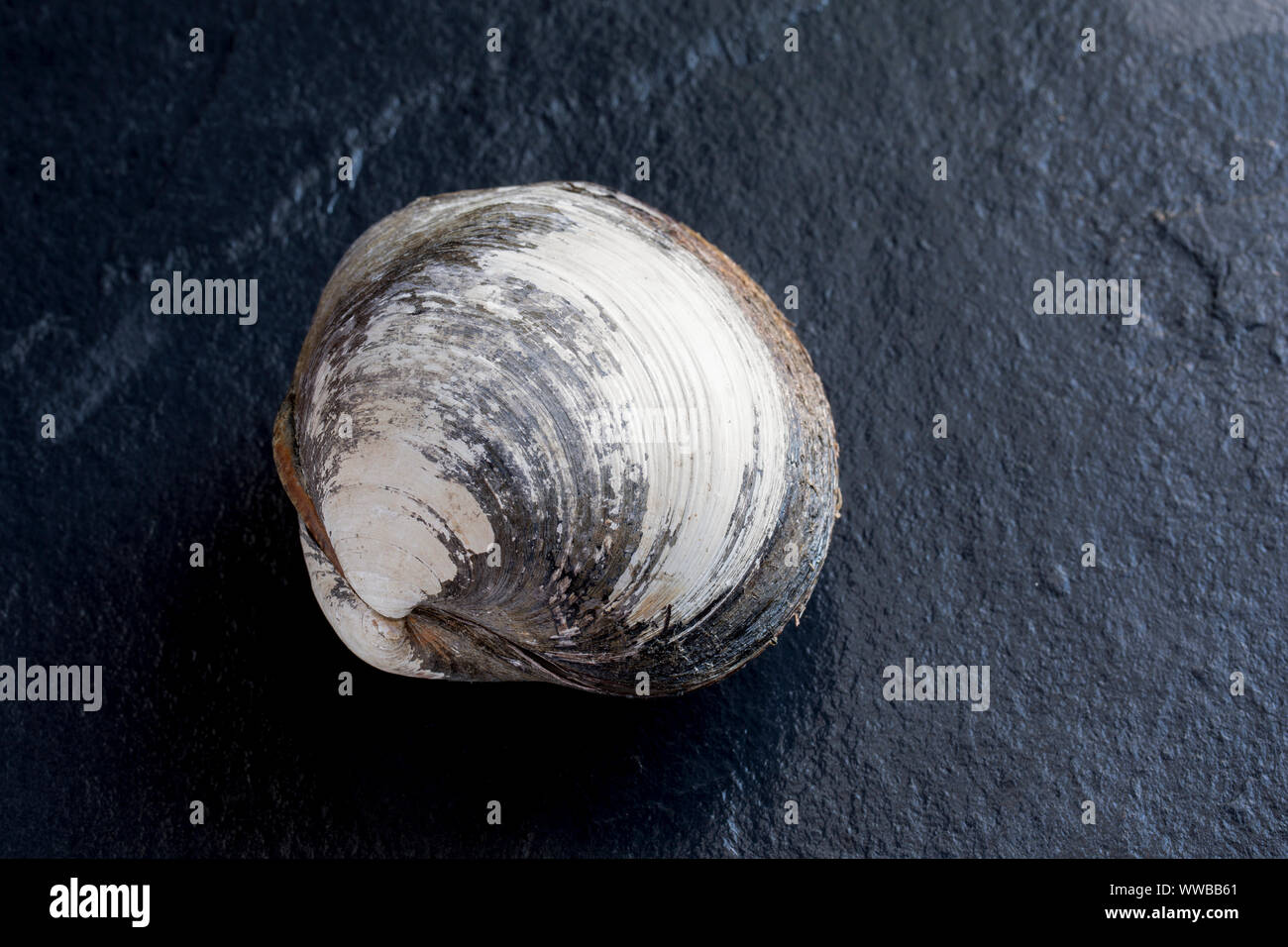 An Icelandic cyprine clam, Arctica islandica,  found in the English Channel. The Icelandic cyprine is one of the longest living organisms on Earth wit Stock Photo