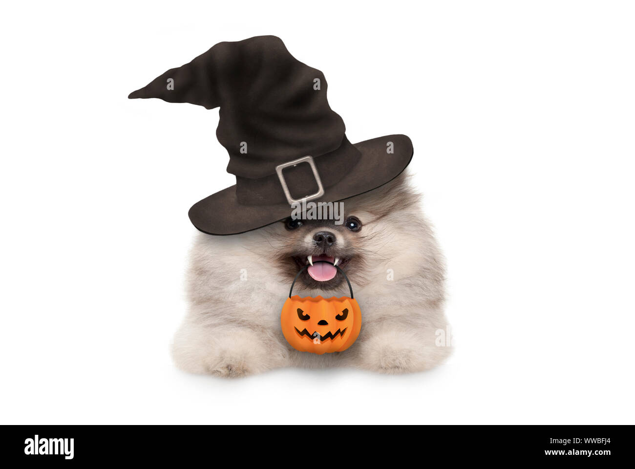 happy pomaranian spitz Halloween puppy dog, with witch hat and orange pumpkin basket hanging with paws on white banner, isolated Stock Photo