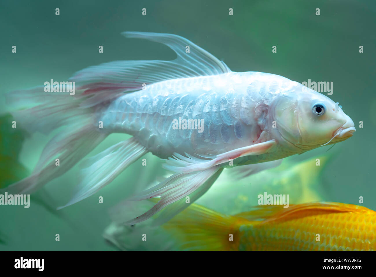 Colorful Butterfly Koi In The Aquarium This Is A Species Of Ornamental Fish Used To Decorate In The House Or Garden Stock Photo Alamy