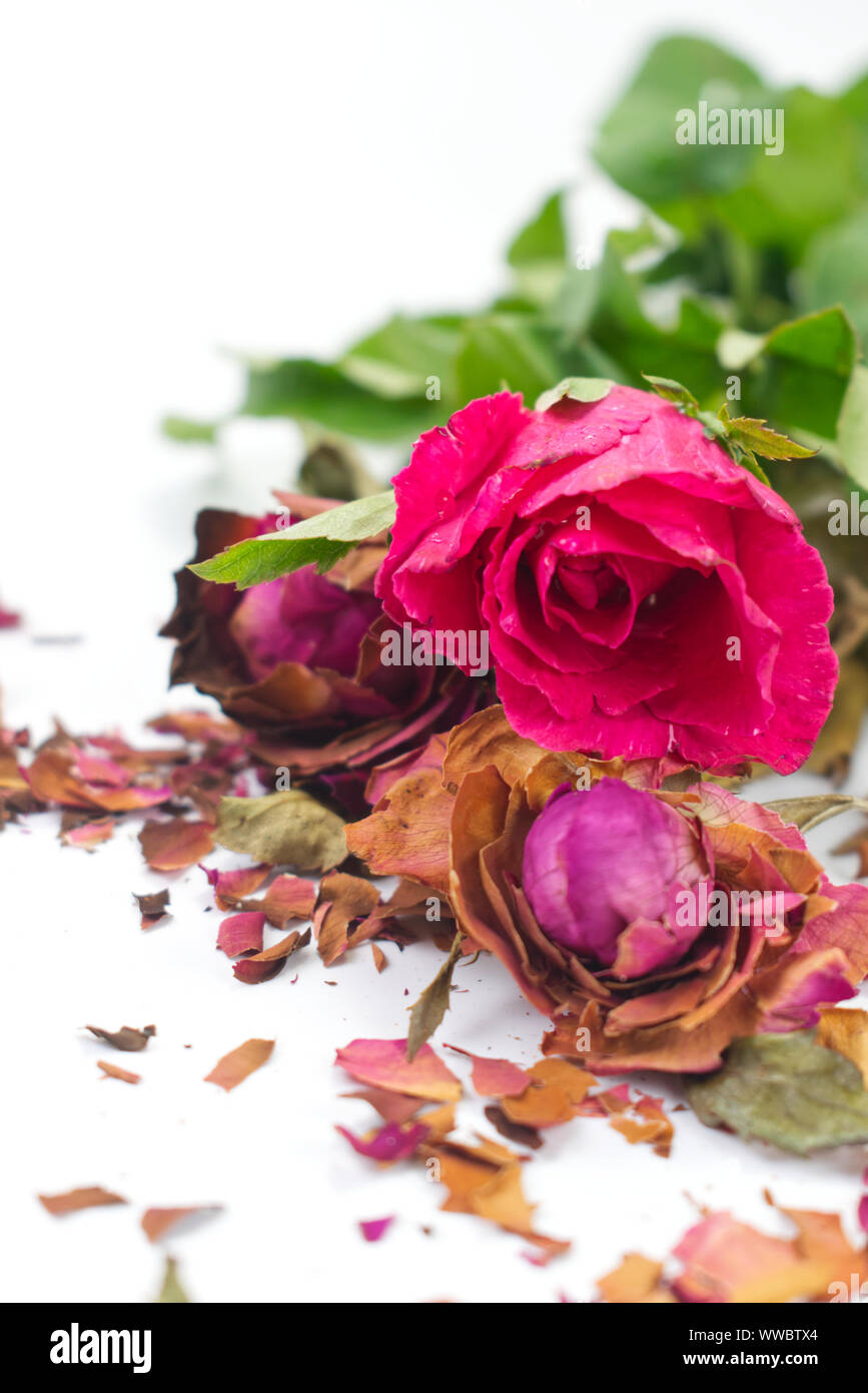 Fresh and dried pink roses with fractures of dried rose petals on white background. Contrast concept for live and death, love and lost, sweet and bitt Stock Photo