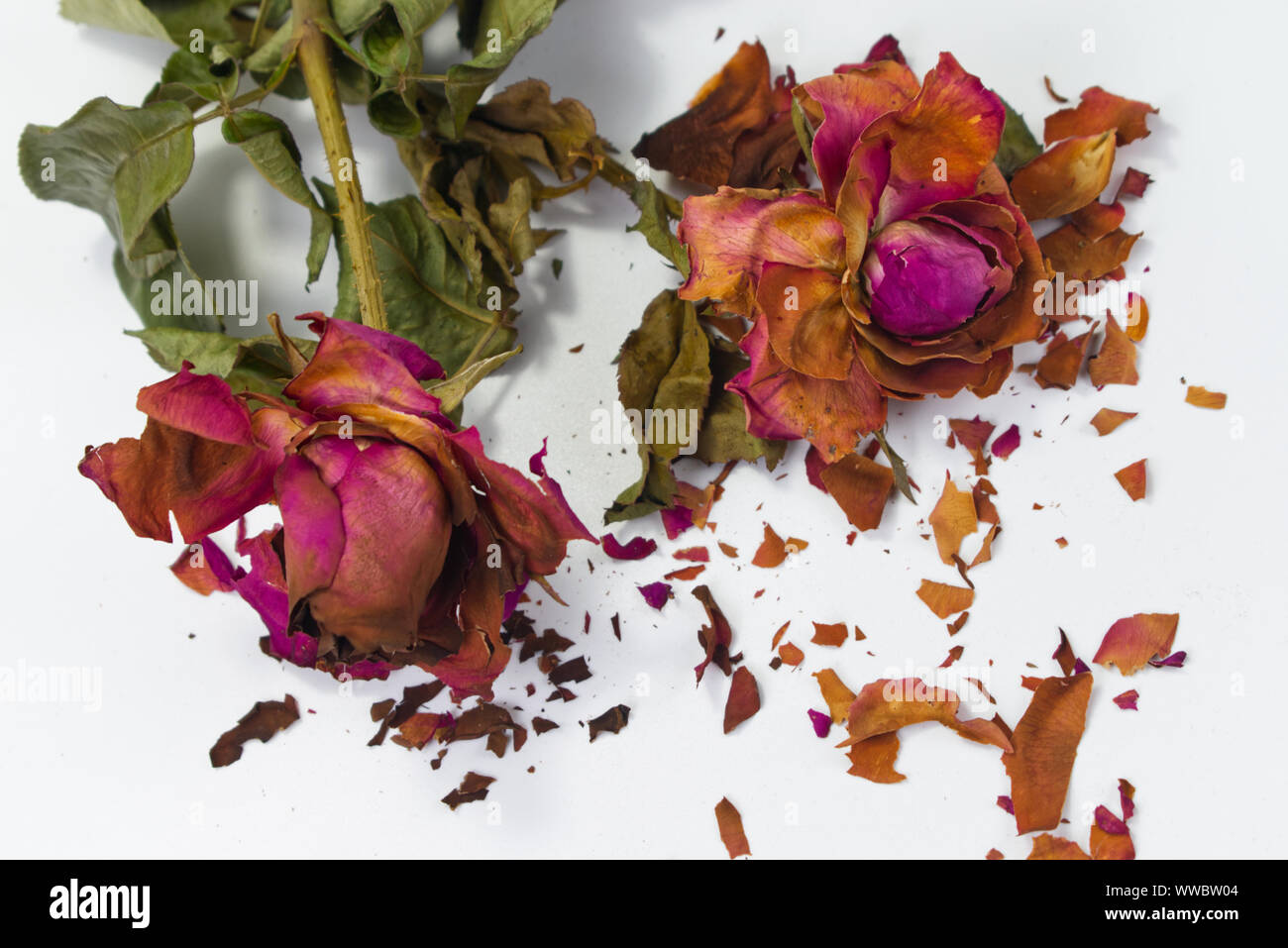 Dried red roses with fractures of rose petals on white background. Concept for aging love, bitter romance. Stock Photo