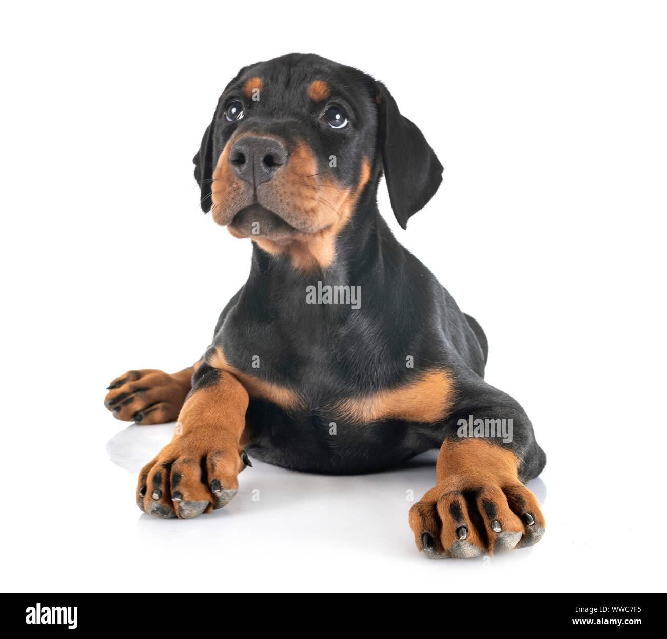 Puppy Doberman Pinscher In Front Of White Background Stock Photo Alamy