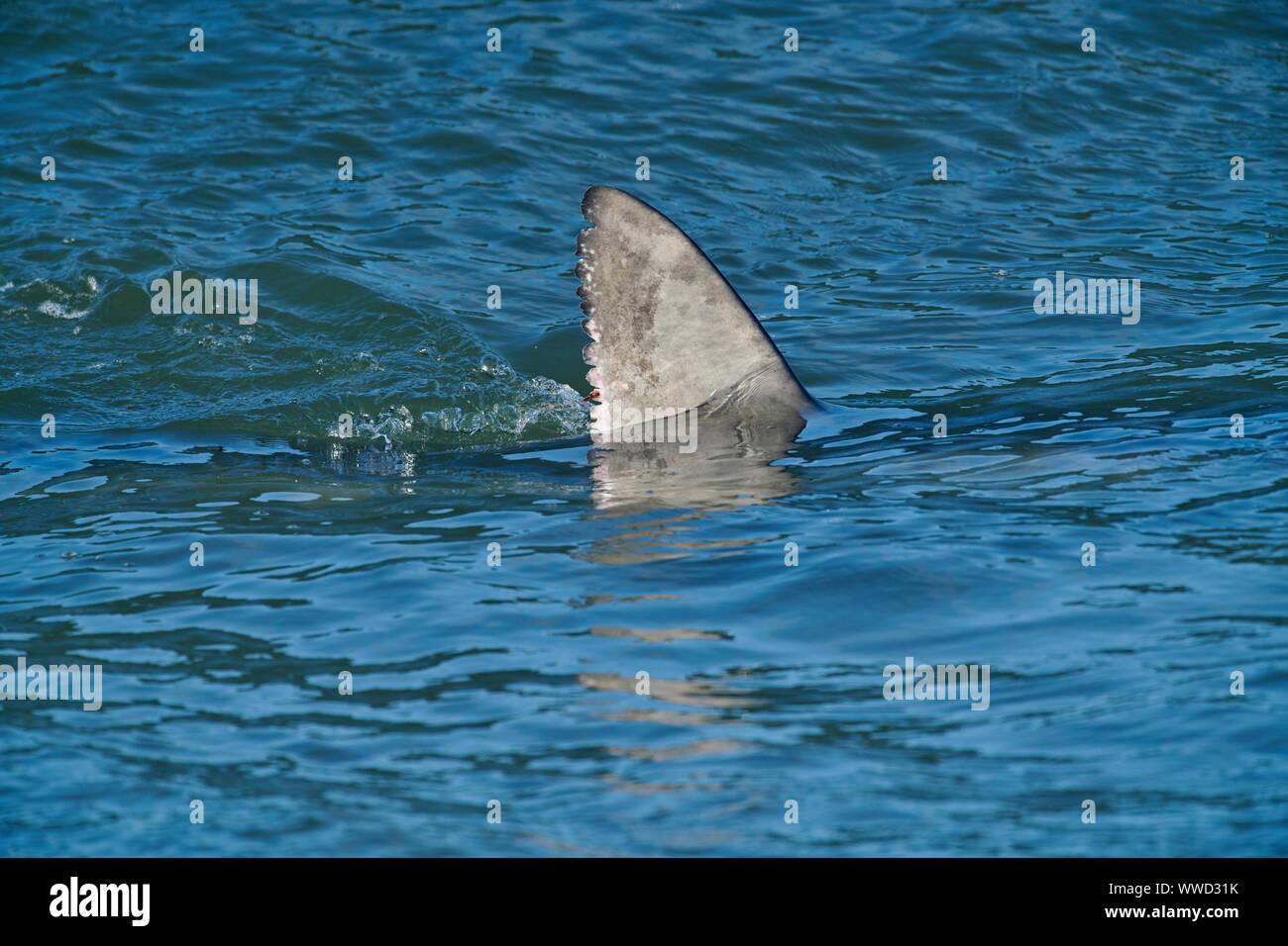 Blue Shark (Prionace glauca) in surf close to beach, Cherry Hill Beach, Nova Scotia, Canada Stock Photo