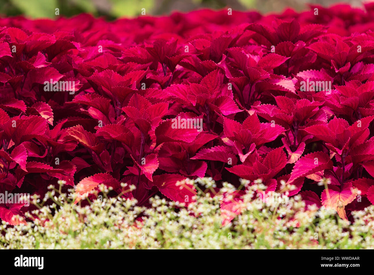 Though usually shade-loving, the Red Hat variety of coleus (Plectranthus scutellarioides) thrives in sunshine, in this showy display of color. Stock Photo