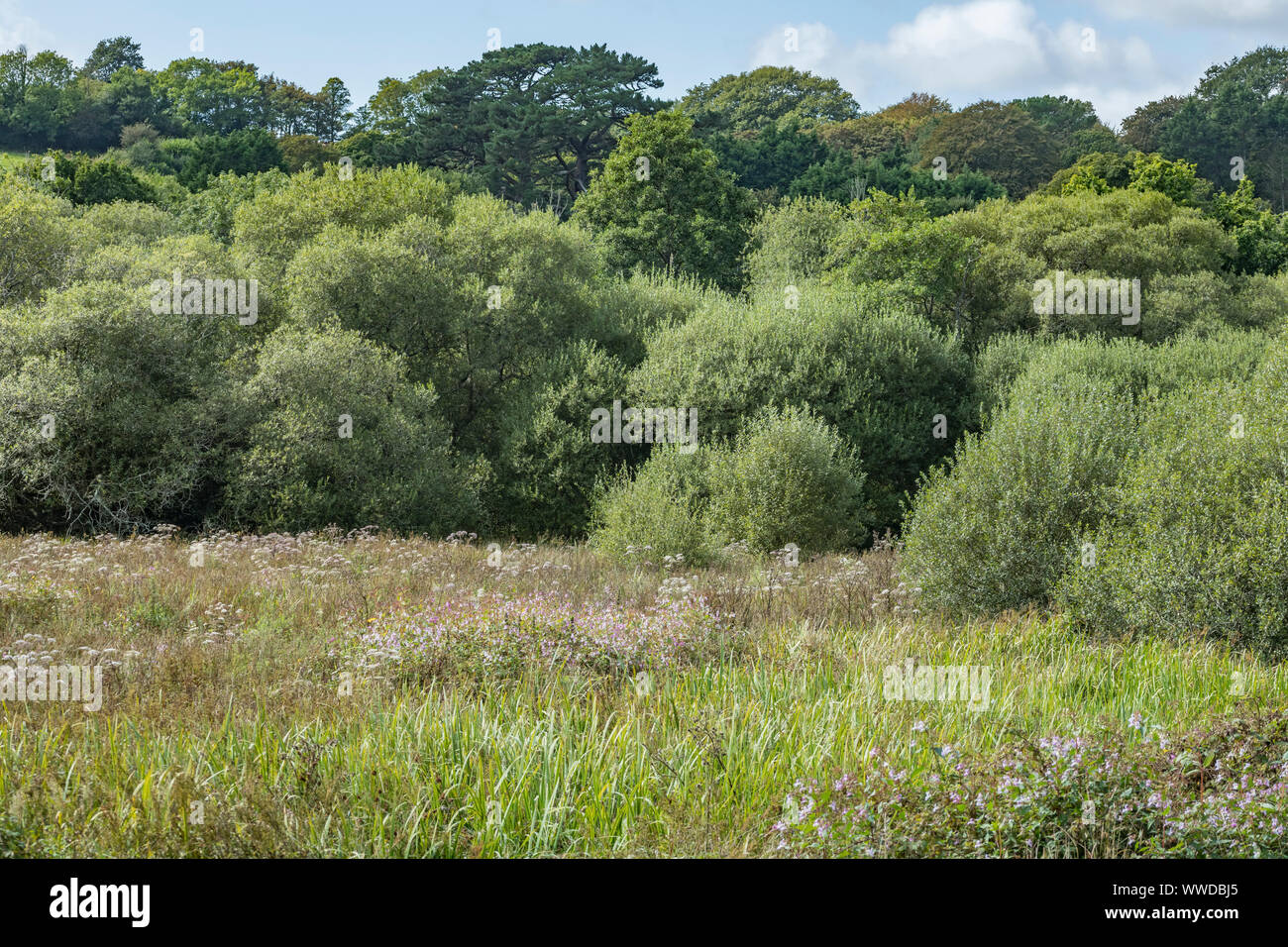 Water meadow infested by the troublesome weed Himalayan Balsam / Impatiens glandulifera. Likes damp soils / ground. Himalayan balsam invasion. Stock Photo