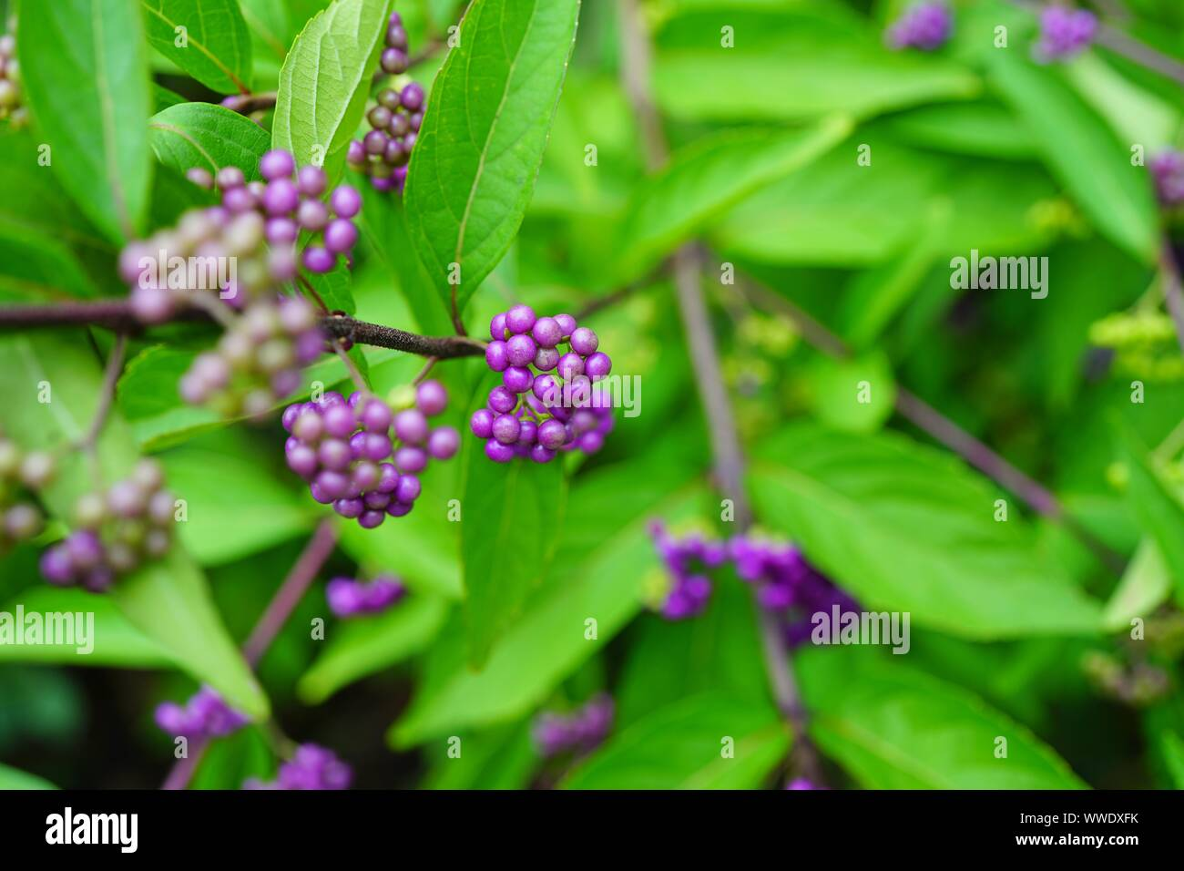 Purple Berries Of The Beautyberry Plant Callicarpa In The Fall