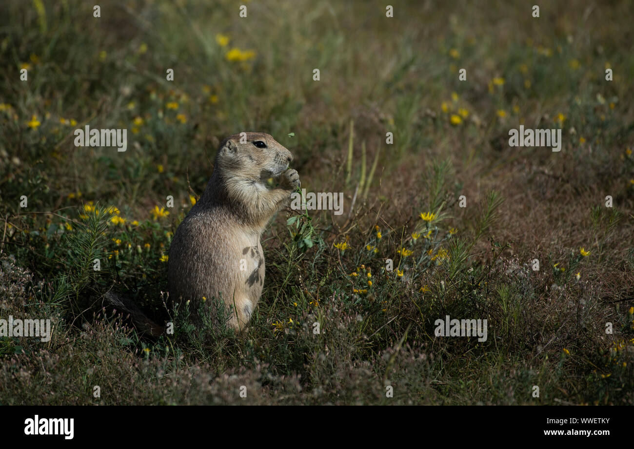 united states september 15 2019 prairie dogs genus cynomys are herbivorous burrowing rodents native to the grasslands of north america here is WWETKY