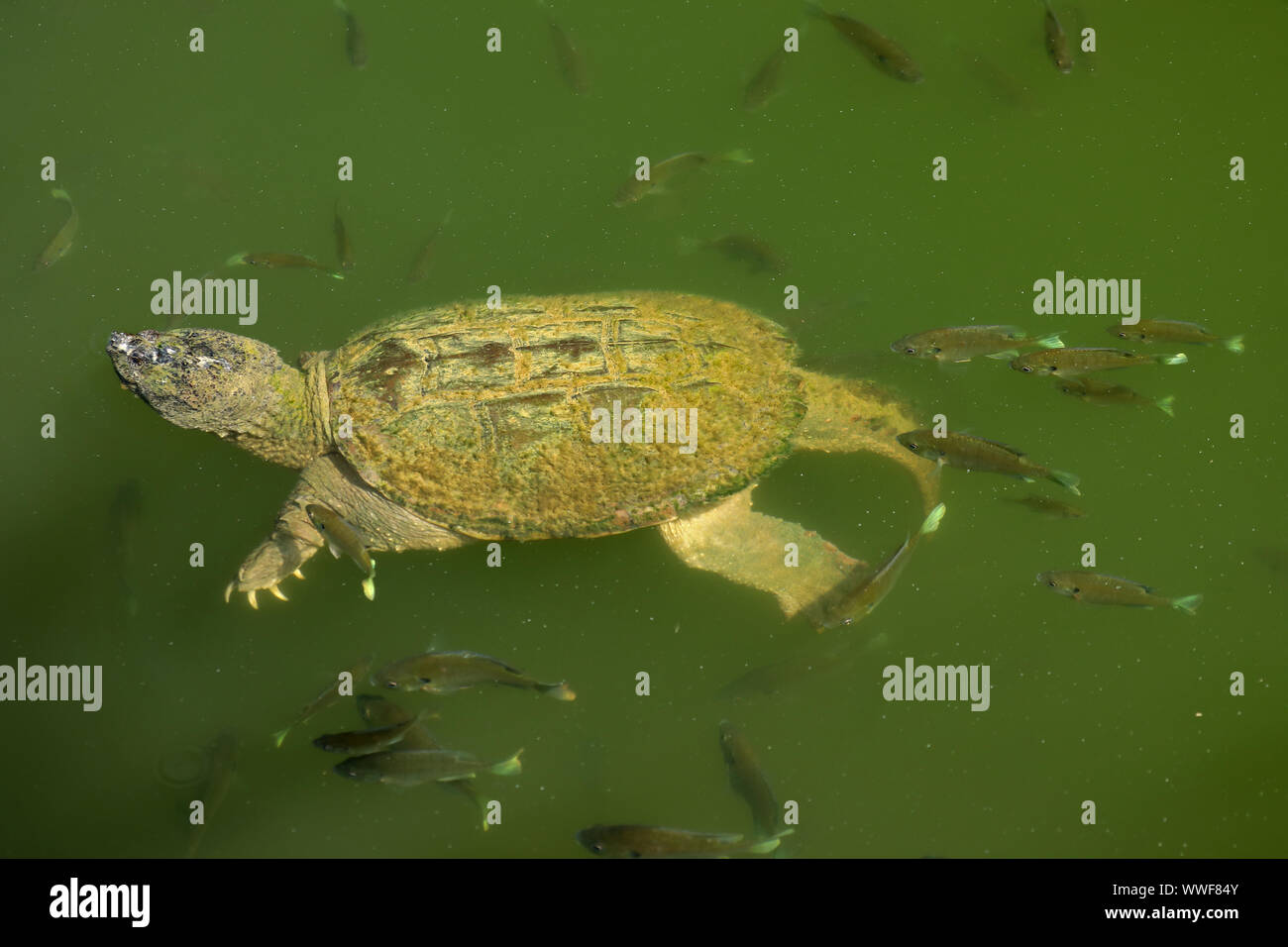 snapping turtle, Chelydra serpentina, and bluegills, Lepomis macrochirus, bluegills attempting to feed on the algae on turtle's carapace, Maryland Stock Photo