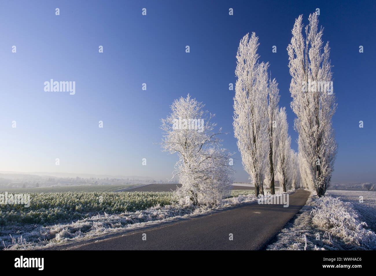 Poplars in a field at sunrise with hoarfrost Stock Photo