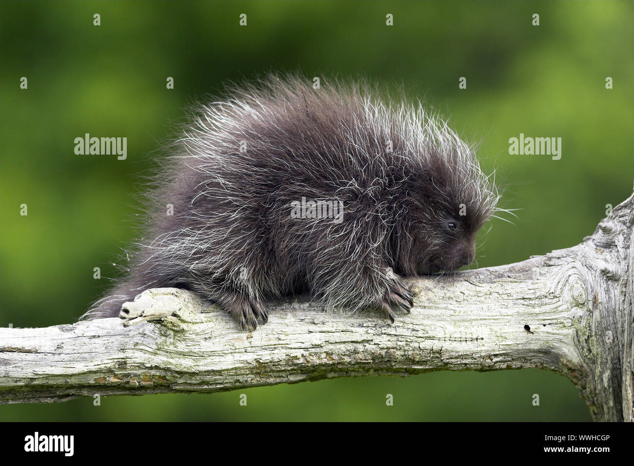 Tree thorners, New World tree thorners, Porcupine, Minnesota, USA, Erethizon dorsatum, New world porcupine Stock Photo