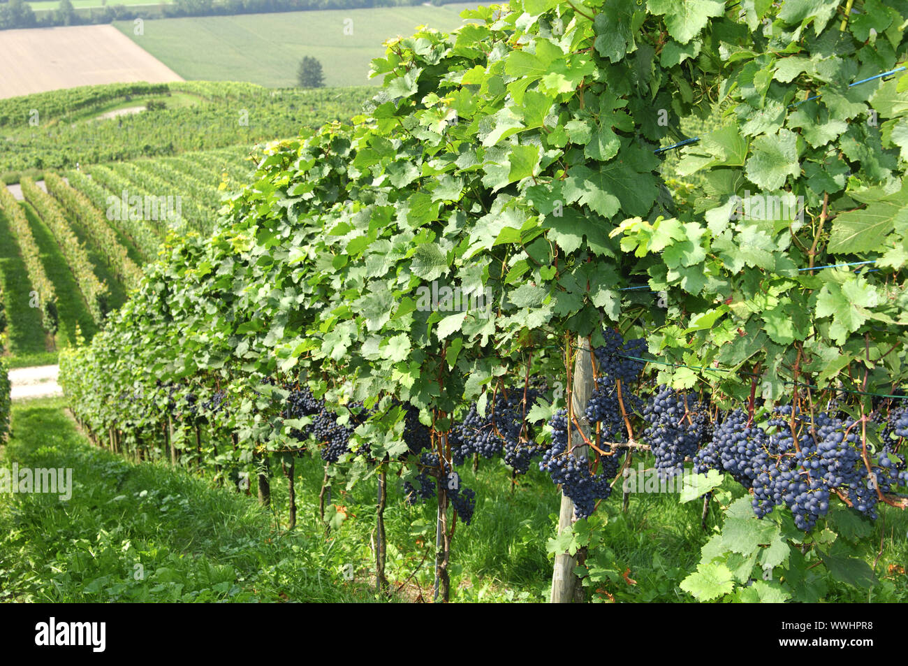 Vineyard with blue grapes, Switzerland Stock Photo