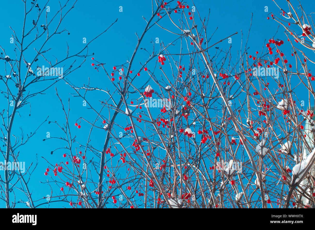 Lot of bright red viburnum berries in the winter on the background of the blue sky Stock Photo