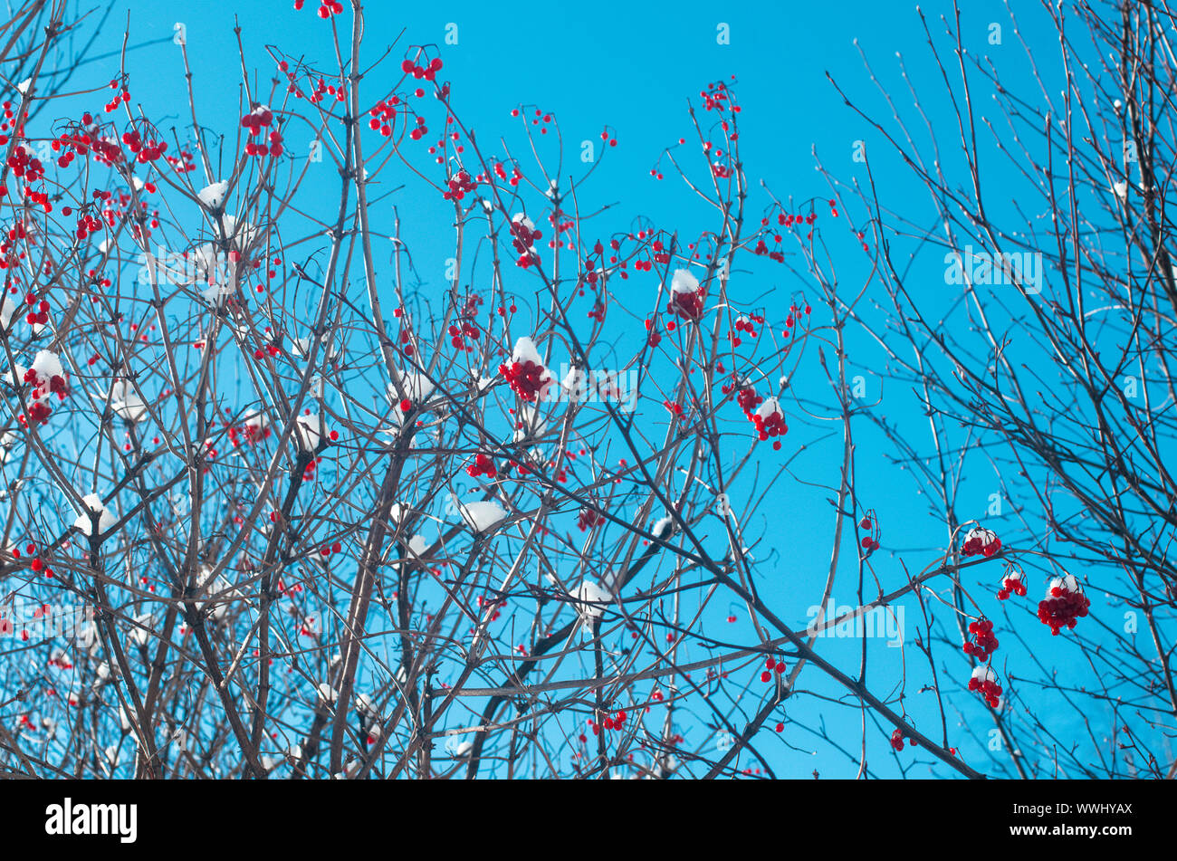 Bunches of red viburnum covered with snow in twisted dry branches Stock Photo