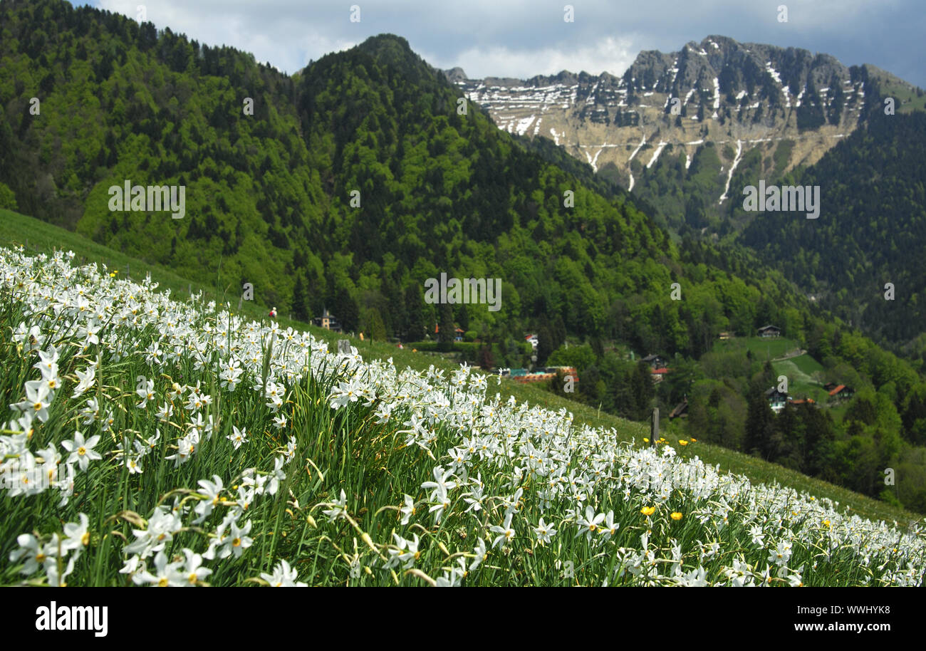 Mountain meadow with flowering white daffodils Stock Photo