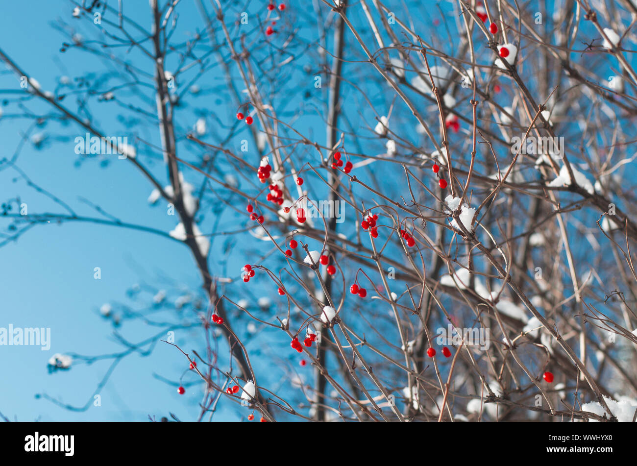 Ripe vividly red berries viburnum on the branches covered with white snow closeup Stock Photo
