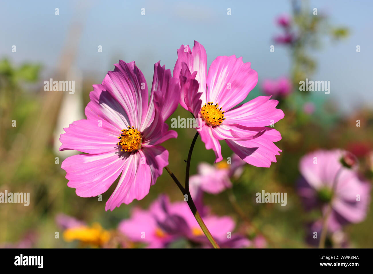 Flower heads of pink white bicoloured Cosmea. Stock Photo