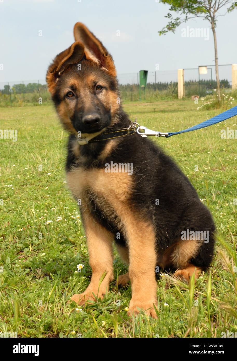Portrait Of A Cute Puppy Purebred German Shepherd Stock Photo Alamy