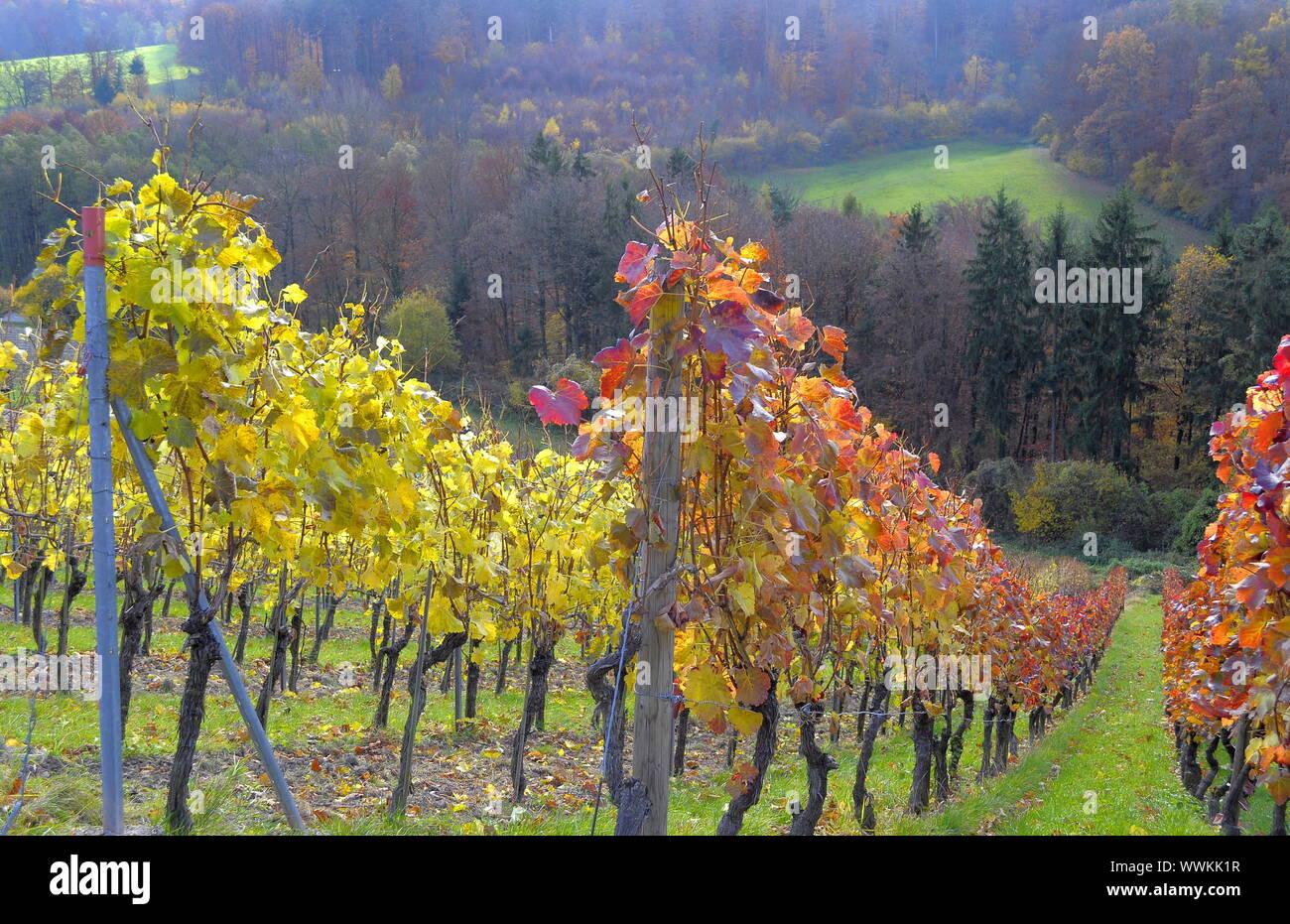 Vineyards in autumn Stock Photo