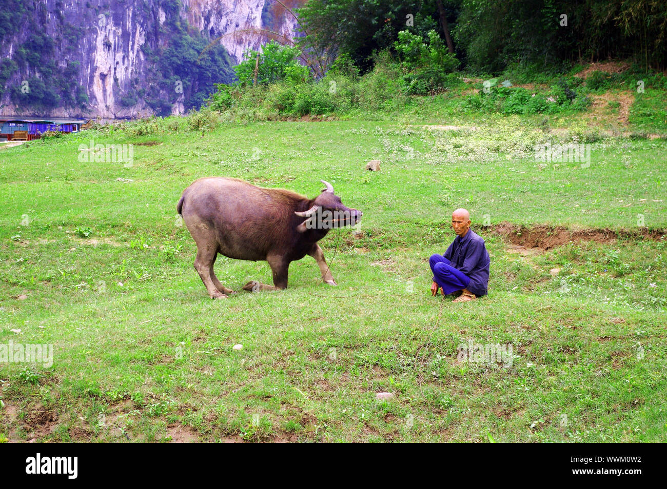 CHINA - MAY 17, He is a traditional farmer with his cow in Yangshuo, China on 17 May, 2010. Stock Photo
