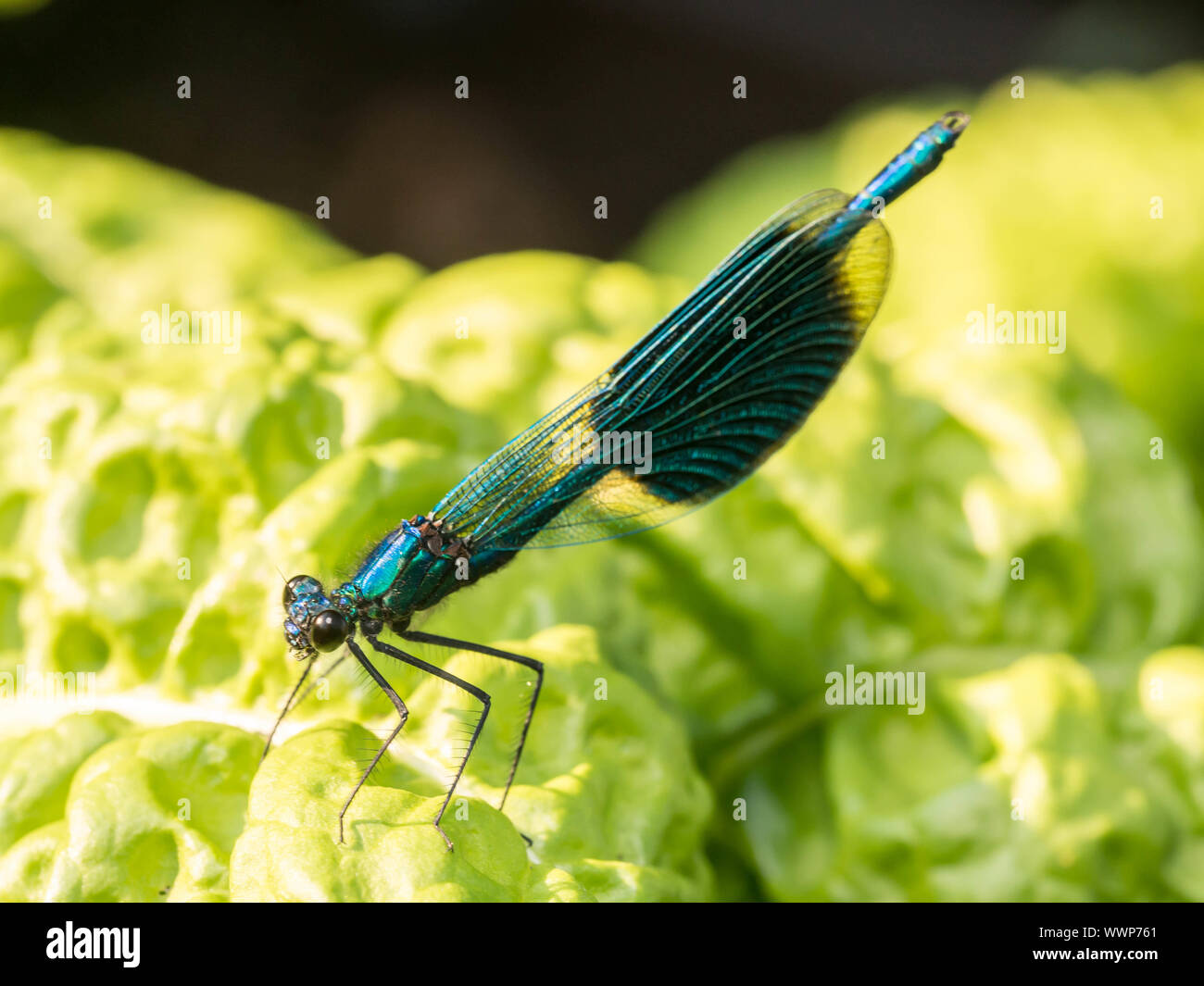 Banded demoiselle Stock Photo
