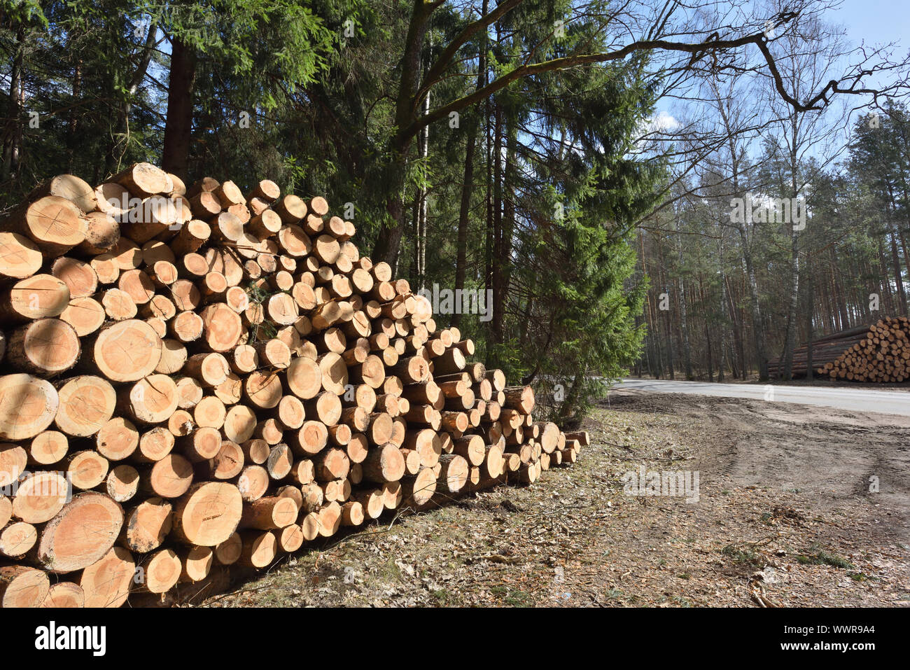 Wooden logs. Timber logging in autumn forest. Freshly cut pine tree logs Stock Photo