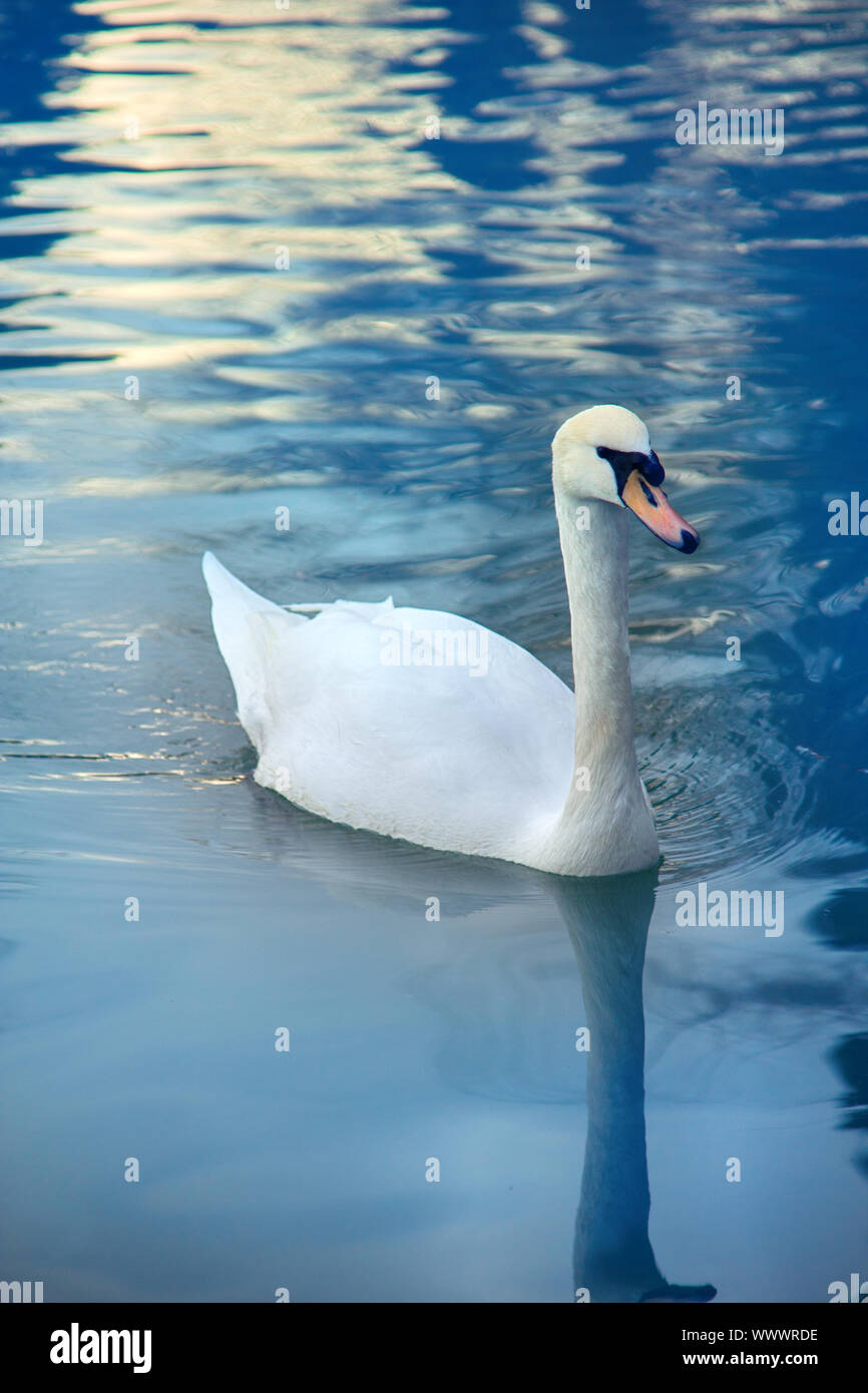 Mute Swan said most beautiful Regal bird Stock Photo