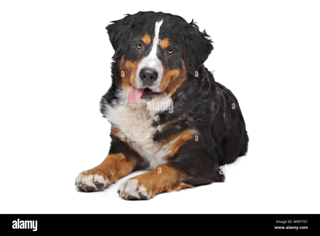 bernese mountain dog in front of a white background WWY731