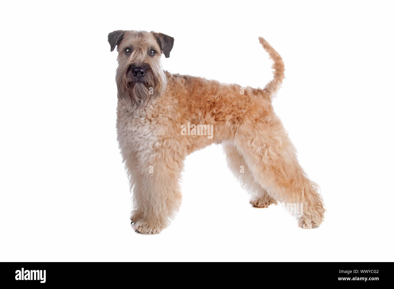 Soft Coated Wheaten Terrier Dog Isolated On A White Background Stock Photo Alamy