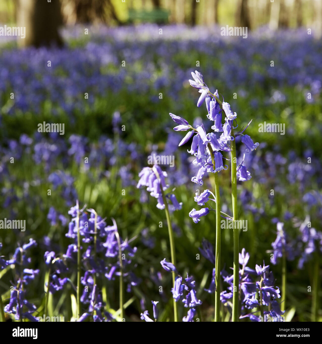 Atlantic bluebell (Hyacinthoides non-scripta), forest of blue flowers, Hueckelhoven, Germany, Europe Stock Photo