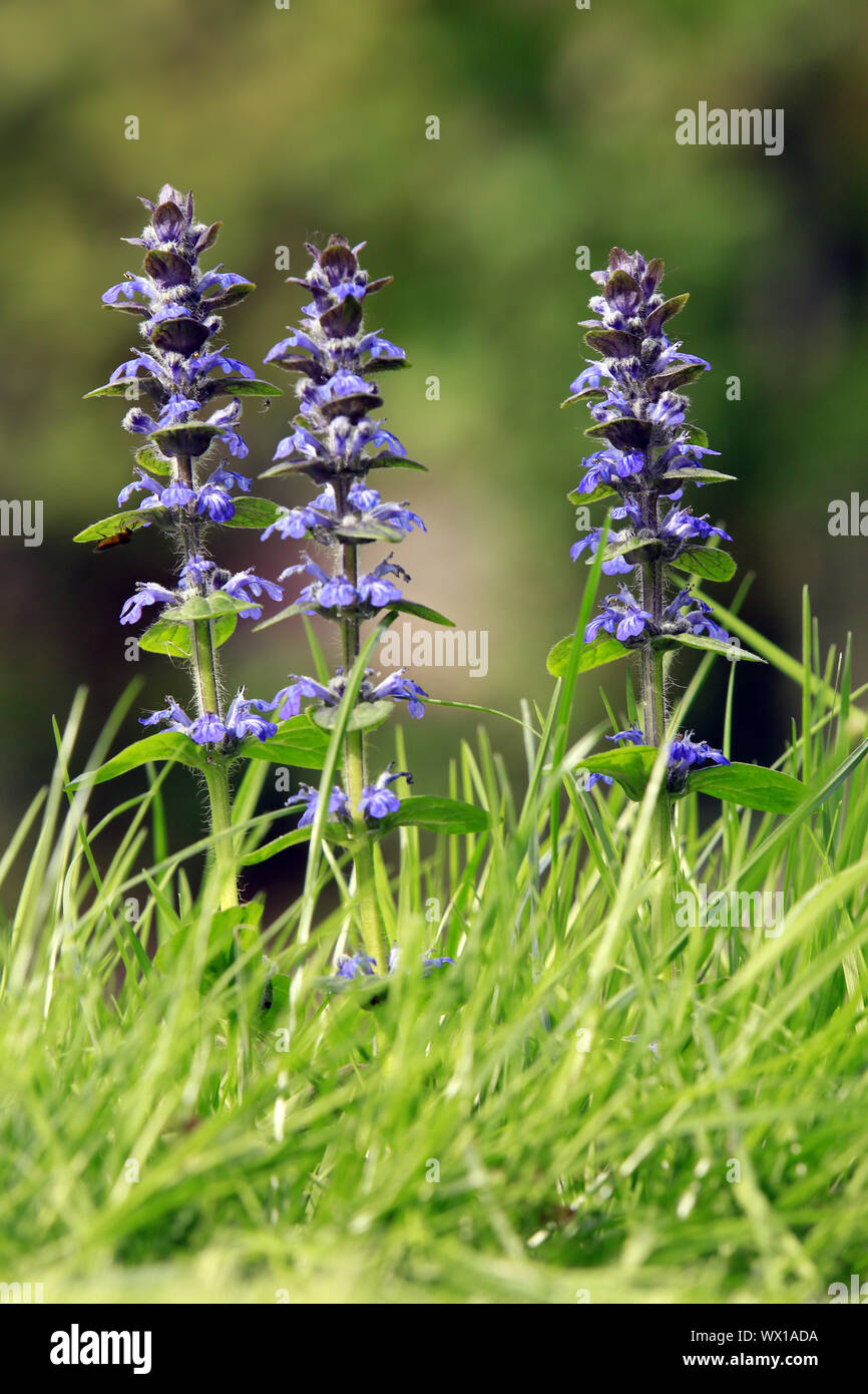 blue bugle, bugleherb, bugleweed, carpetweed, carpet bugleweed, common bugle Stock Photo