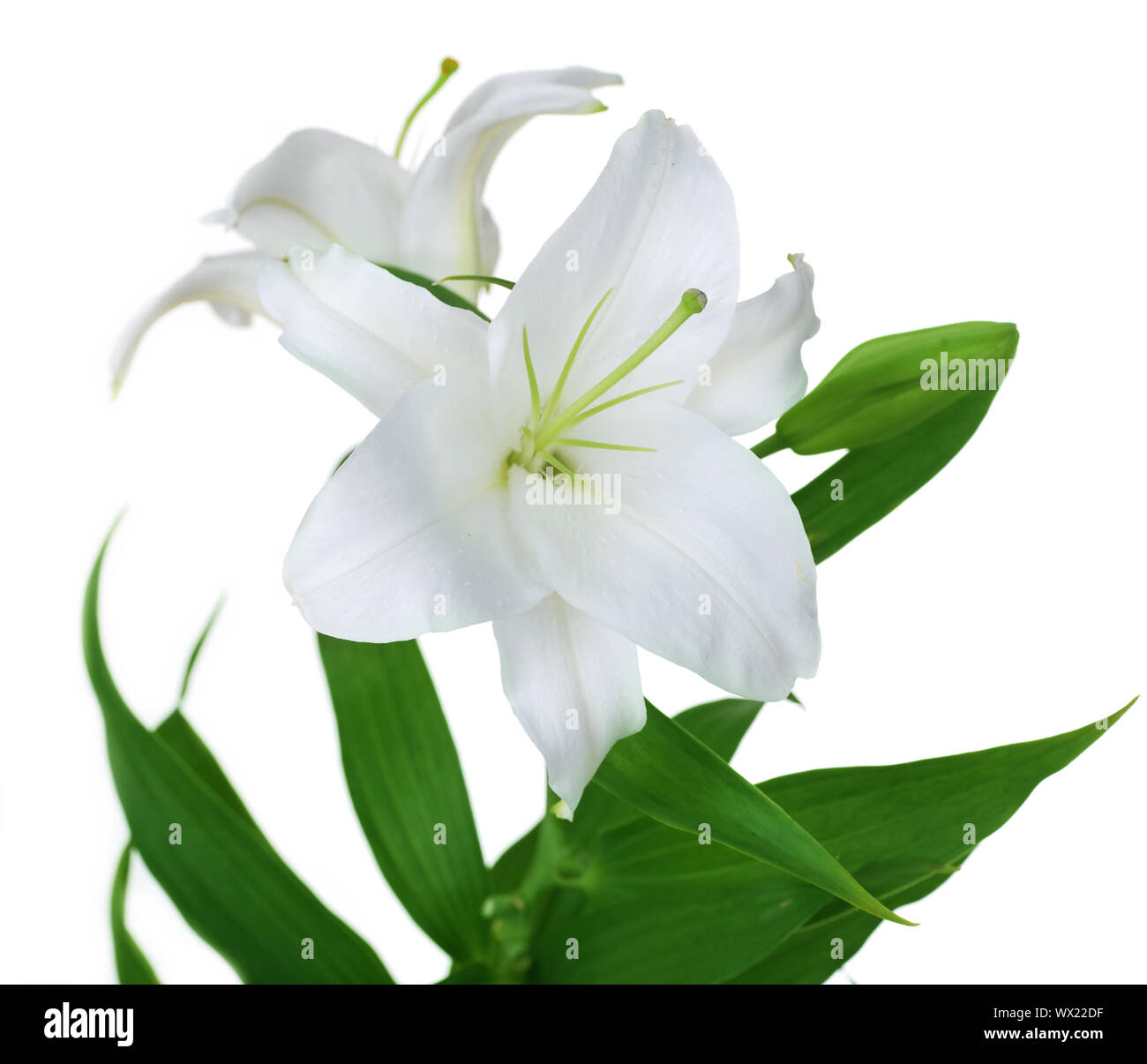 Beautiful White Lily Isolated Stock Photo