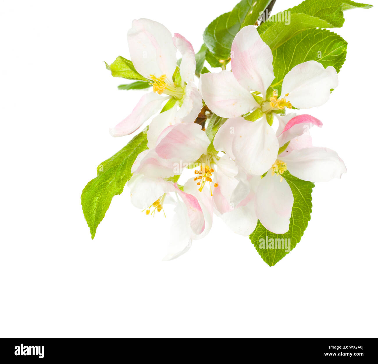 Apple Blossom Isolated Over White Stock Photo