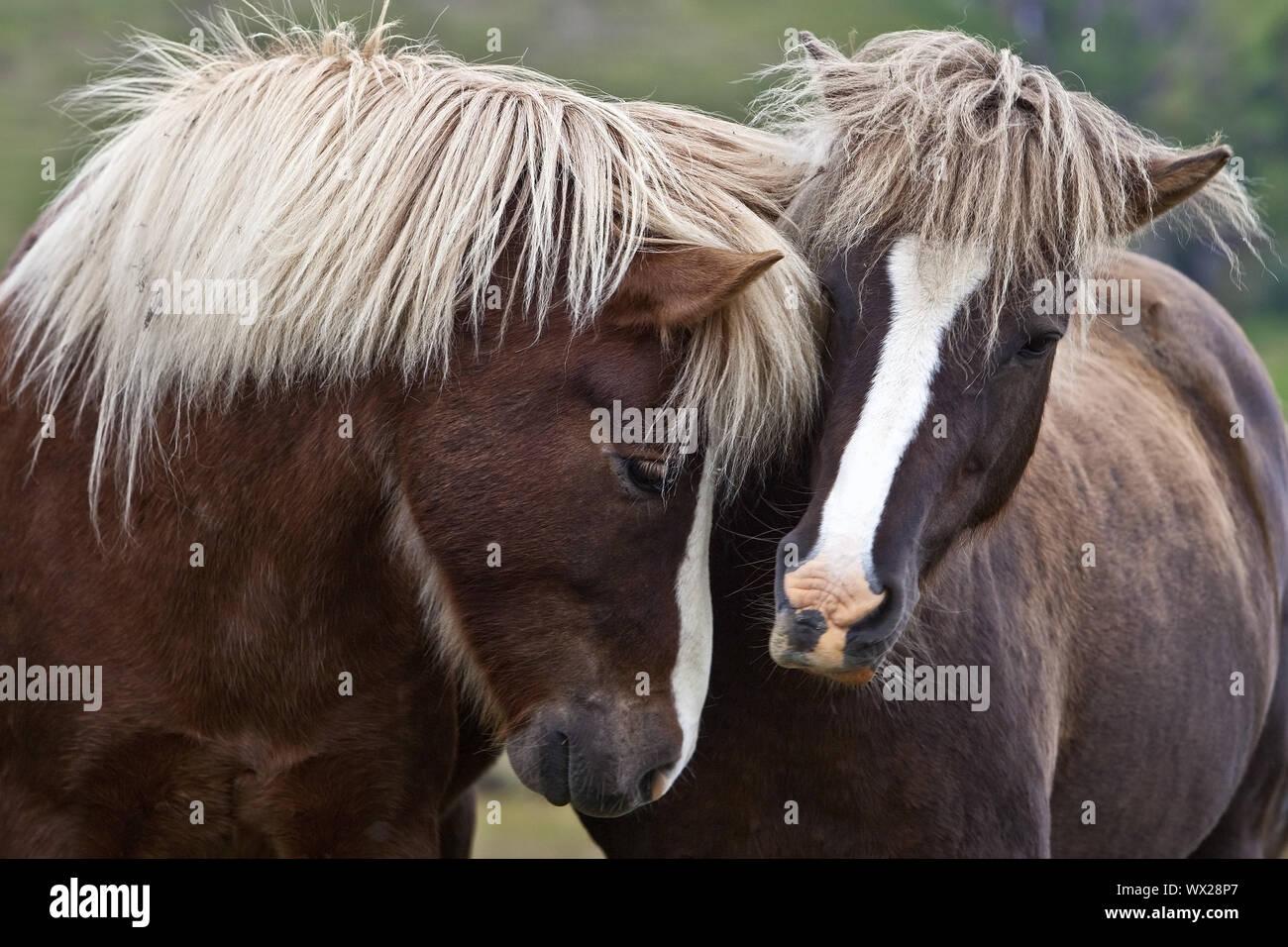Islandic horse (Equus ferus caballus), two Icelandic horses standing togeher, portrait, Iceland Stock Photo