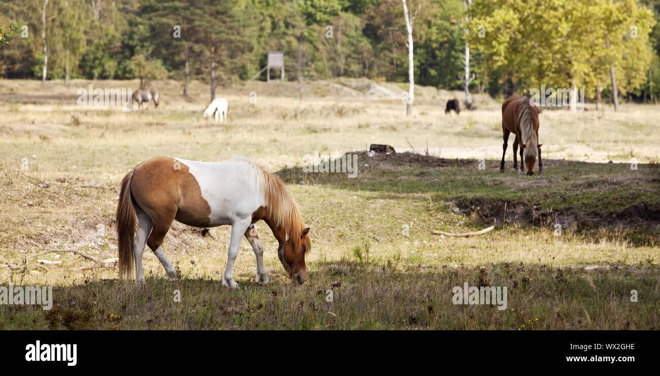 Islandic horse (Equus ferus caballus), nature reserve Wahner heath, Troisdorf, Germany, Europe Stock Photo