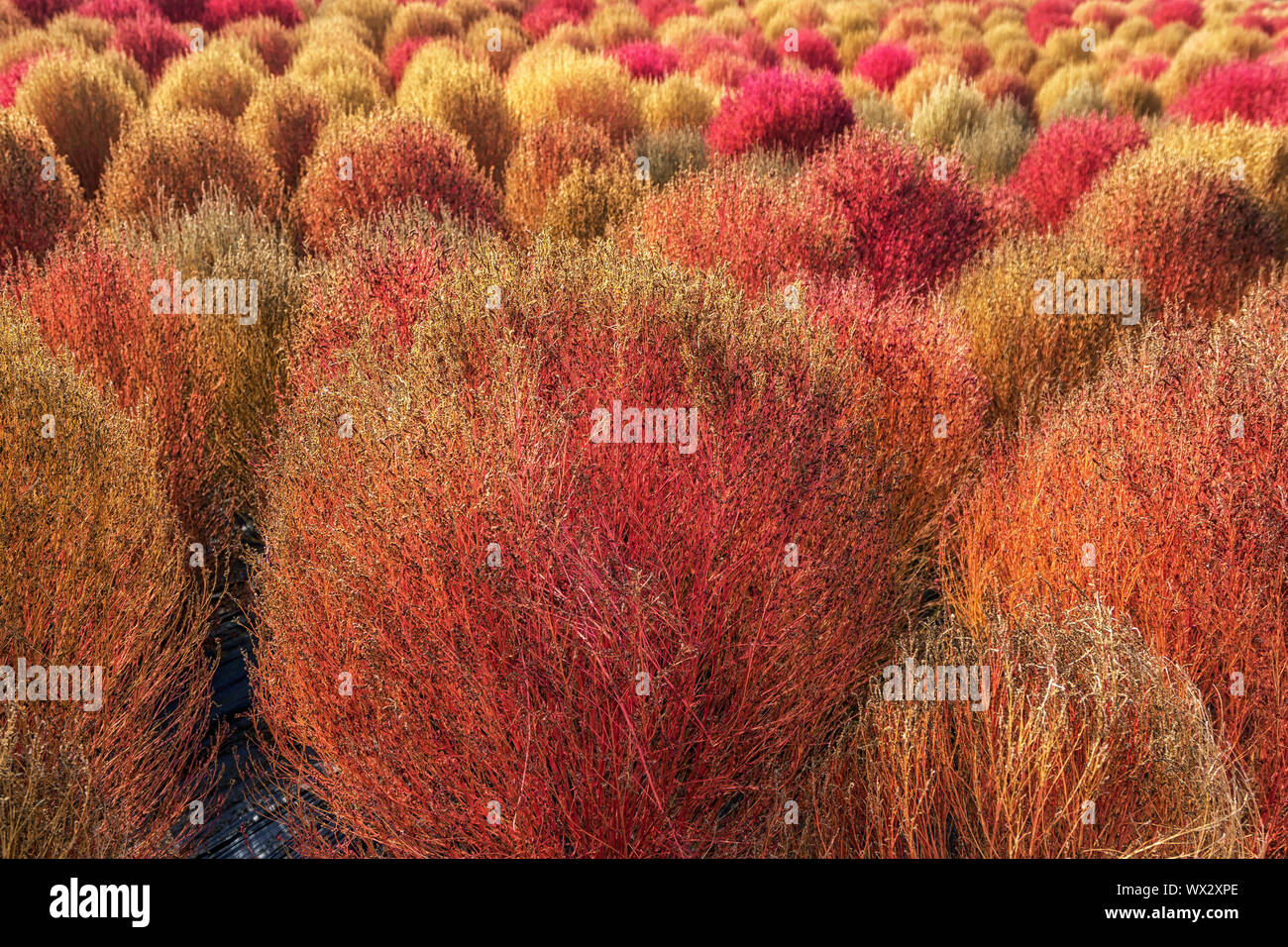 Kochia Scoparia Autumn Stock Photo 274201494 Alamy