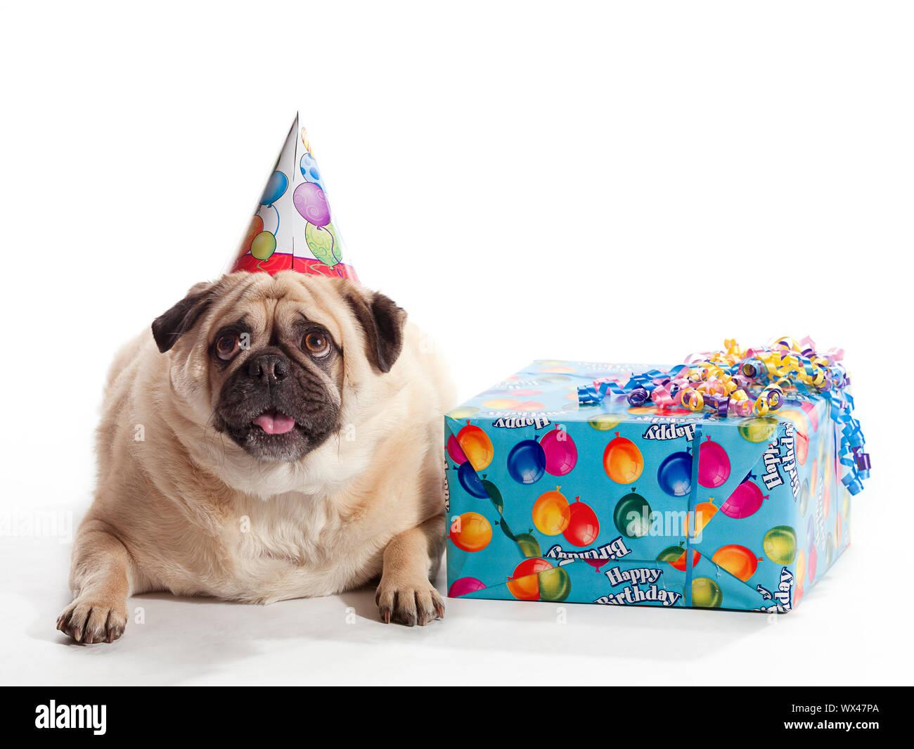 Birthday Pug High Resolution Stock Photography And Images Alamy