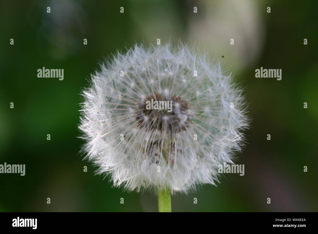 spring wish dandelion macro close up Stock Photo