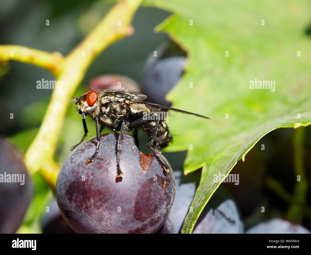 Graue Fleischfliege, Aasfliege (Sarcophaga carnaria) auf dunkler Traube, Weinbeere in Steinen SZ Stock Photo